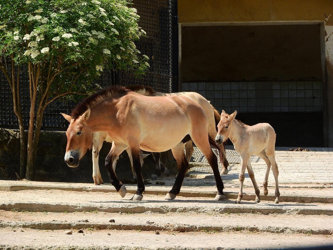 Обзор лошадей пржевальского: особенности вида, характеристика с фото