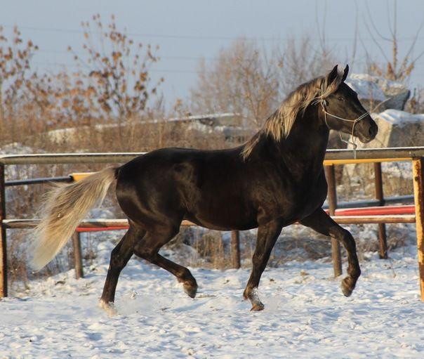 Орловская порода лошадей: описание и особенности разведения рысаков