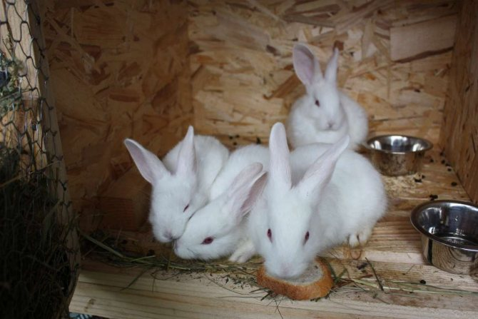 Белый паннон - описание кролика, особенности содержания и разведения