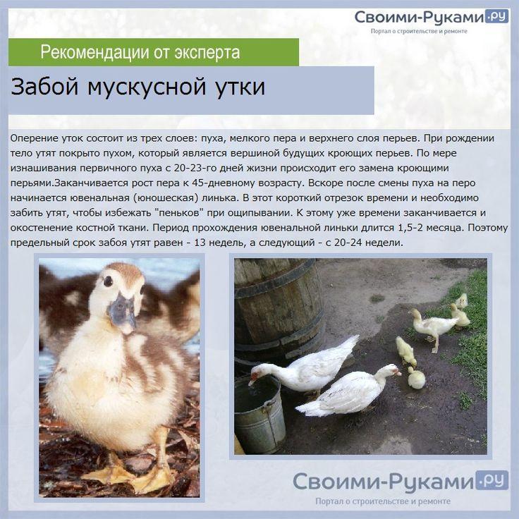 Привлекательность бизнеса по разведению гусей
