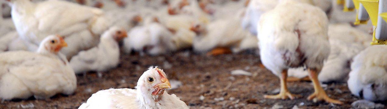 Понос у кур-несушек — обзор причин, способы лечения и профилактики