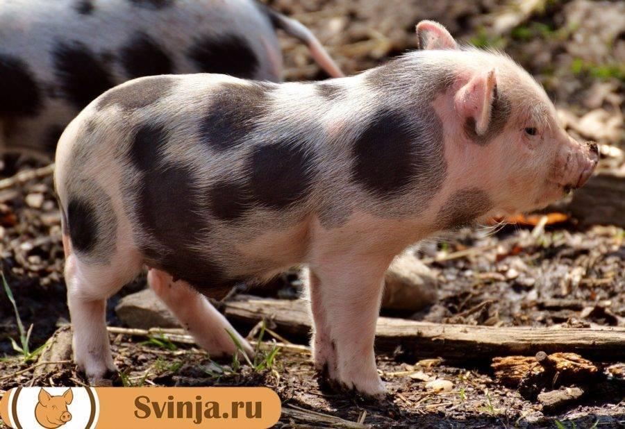 Характеристика породы свиней ландрас: описание, выбор поросят, кормление и уход
