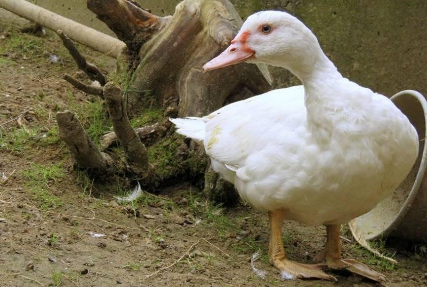 Утки и утята падают на ноги и дохнут: почему, что делать и как лечить