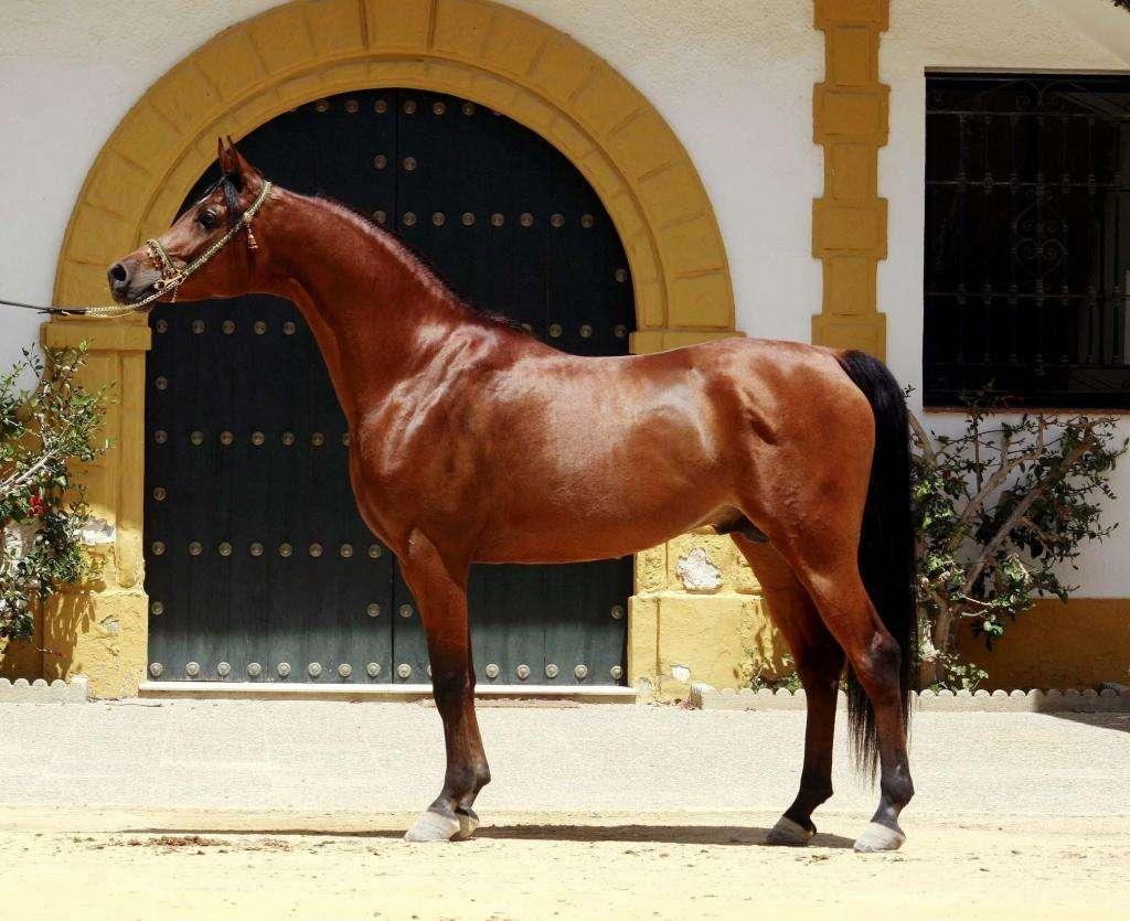 Лошади стиля барокко — андалузы