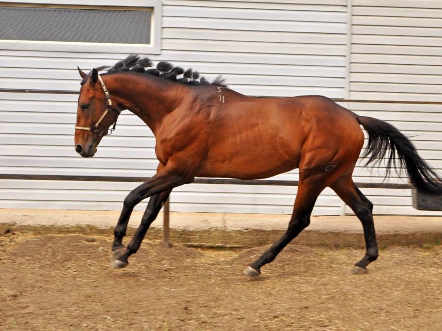 Описание породы тракененская лошадь и особенности ее разведения