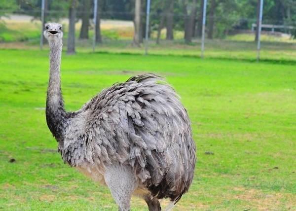 Австралийский страус эму: его среда обитания и фото