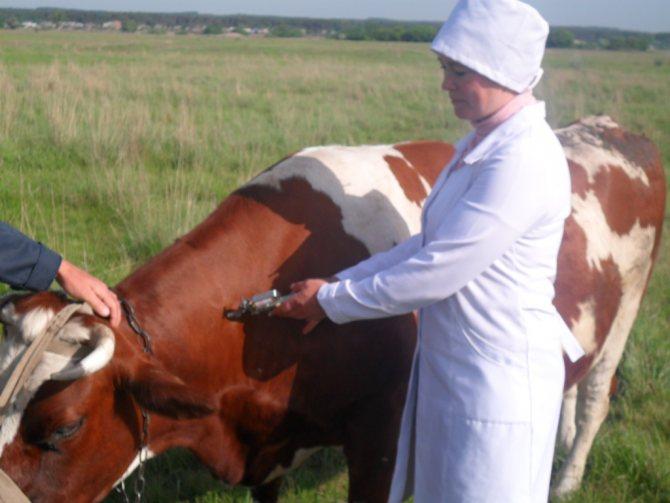 О болезнях коров (абсцесс, шишка на шее или челюсти): что делать, чем лечить