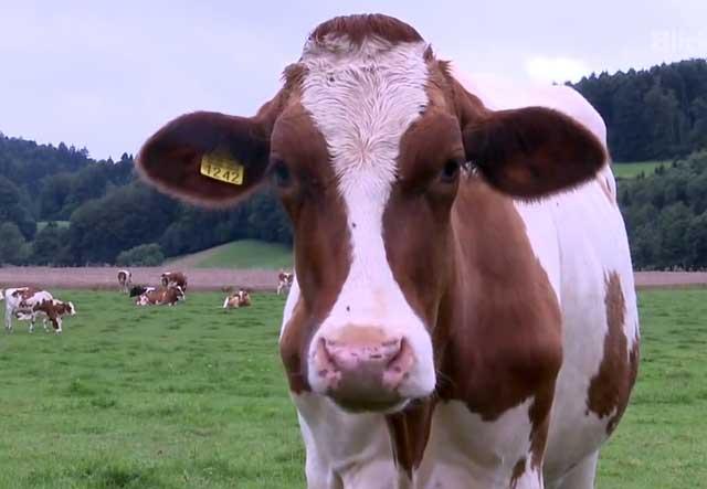 Лейкоз — вирусный убийца коров. описание болезни, мнение специалистов
