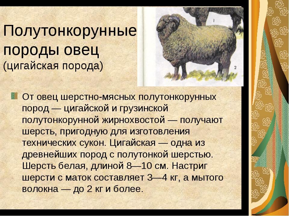 Описание мясных пород овец в россии — познаем в общих чертах