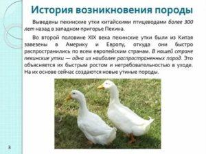 Башкирская утка: описание породы, достоинства и недостатки