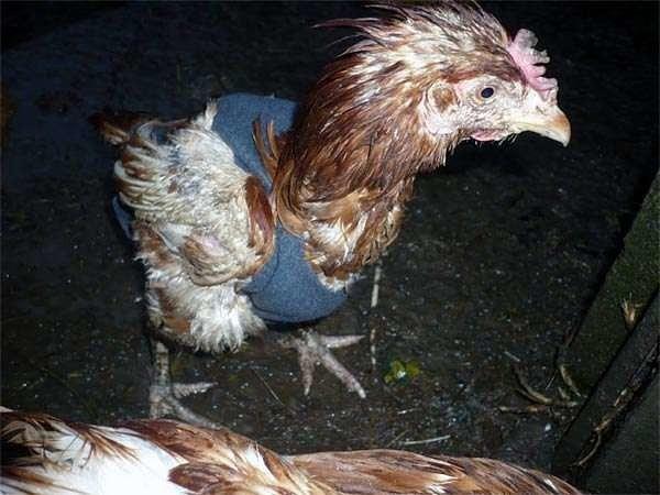 Почему куры выщипывают друг у друга перья и их едят