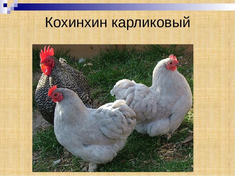 Куры кохинхин: описание породы, яйценоскость, фото, отзывы