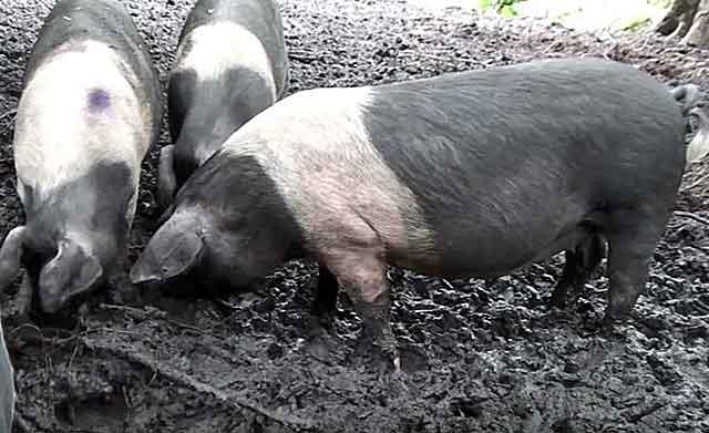 Сколько ходит беременная свинья, сколько вынашивает поросят