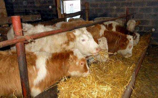 Выращивание бычков на мясо с нуля в 2020 году. откорм бычков на мясо: рацион и технологии