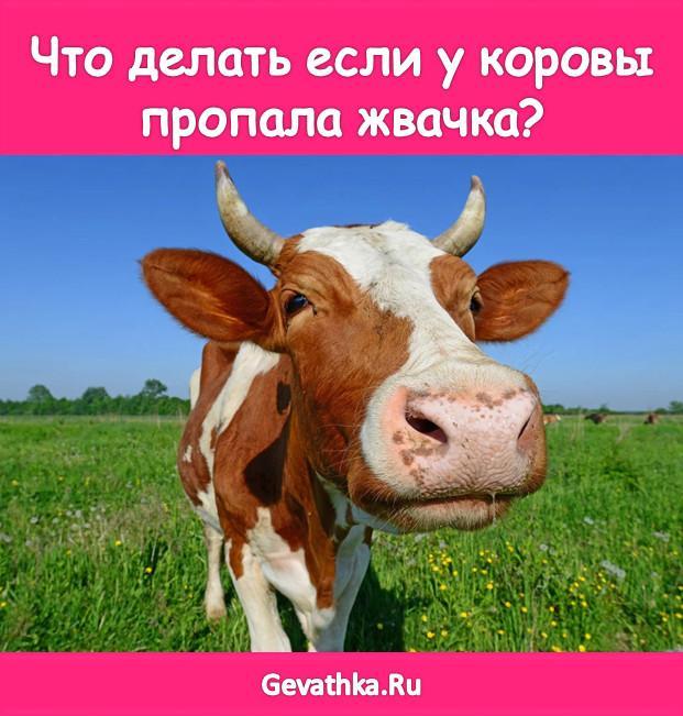 Стоит желудок у коровы: что делать, как запустить народными средствами — закупорка пищевода и остановка жкт — moloko-chr.ru