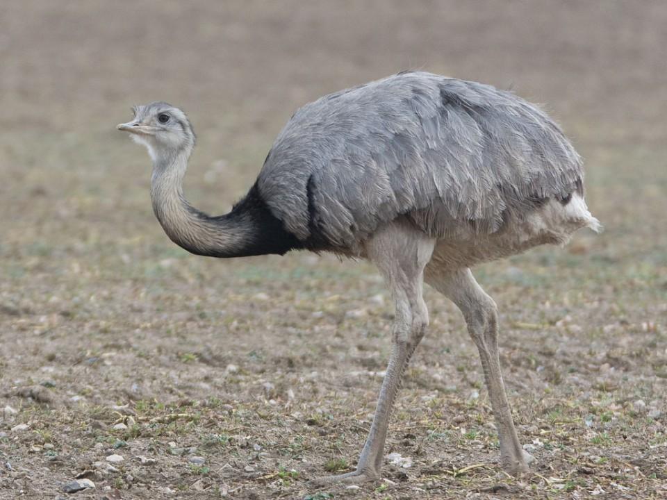 Американский страус. нанду: содержание, кормление и разведение