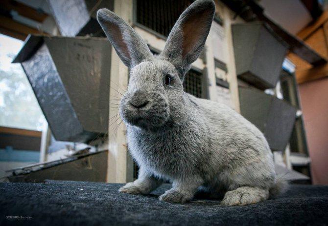 Серебристый кролик: особенности содержания и кормления — cельхозпортал