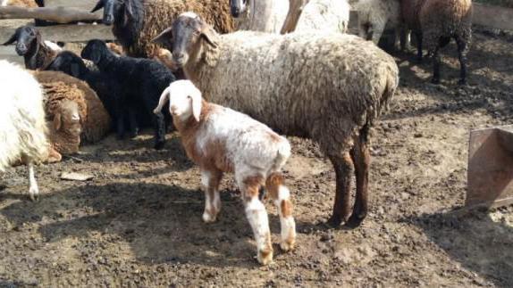 Гиссарская порода овец: характеристика, разведение и содержание