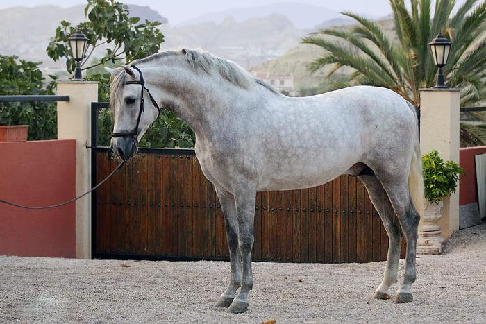✅ об андалузской лошади: испанская порода лошадей, описание, характеристики - tehnomir32.ru