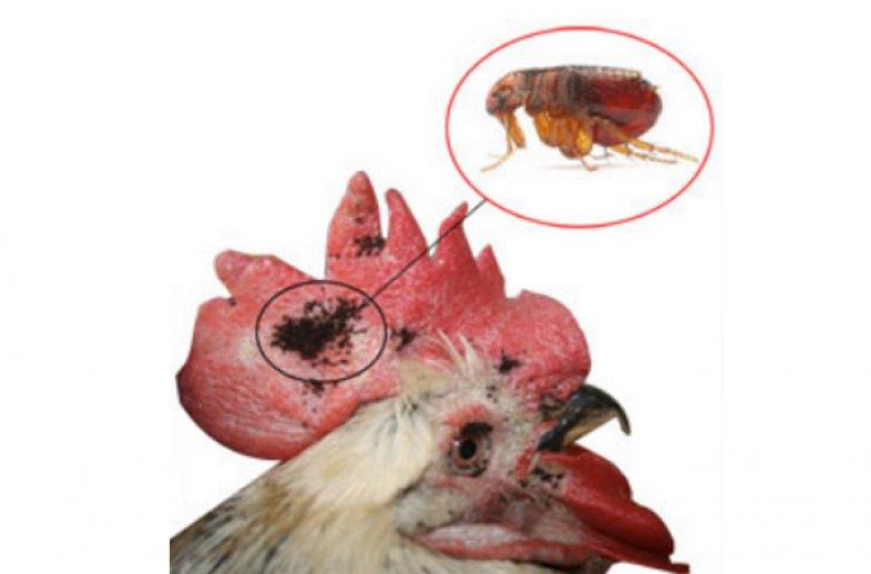 Перьевой клещ у кур - виды, симптомы, как избавиться