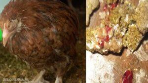 Как лечить понос у курицы: причины, симптомы и методы лечения пернатых