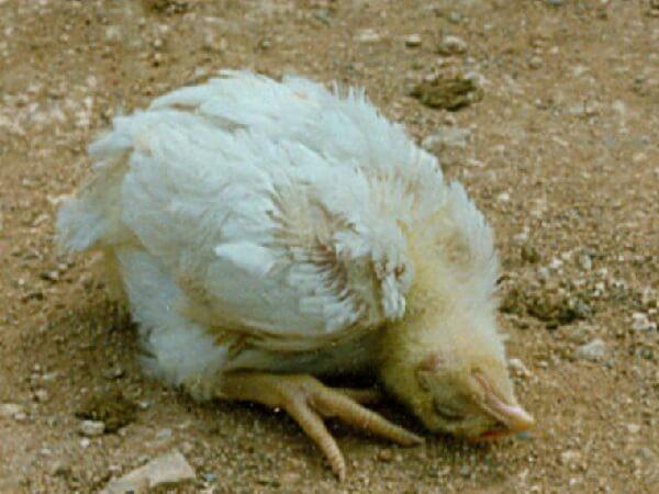 ✅ почему, что делать при увеличении или закупорке зоба у курицы (кандидоз, атония) - tehnomir32.ru