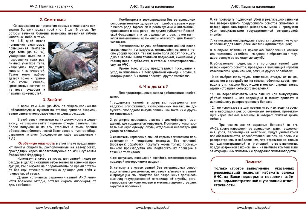 Африканская чума свиней: признаки заболевания, профилактика, фото и видео