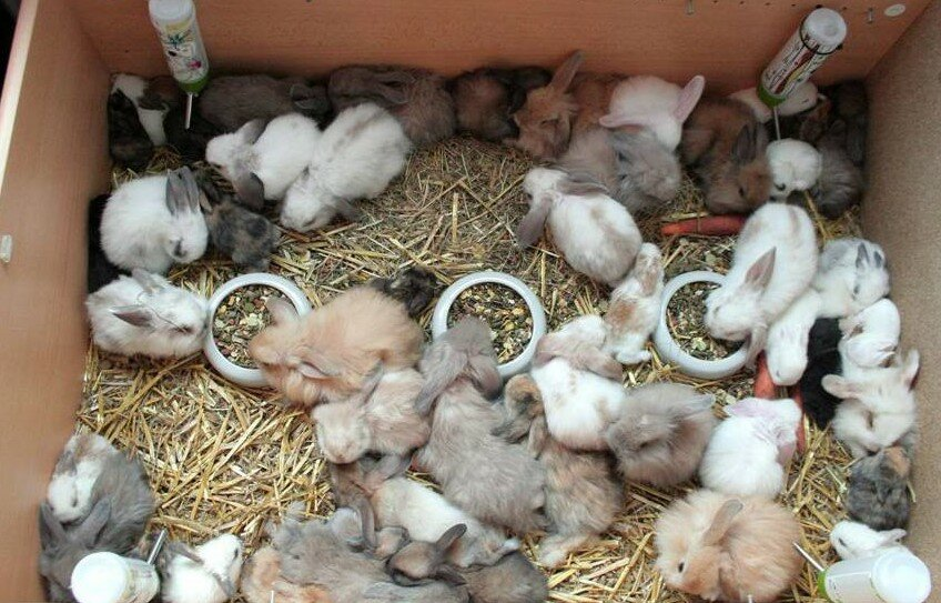 Когда отсаживать крольчат от крольчихи: в каком возрасте