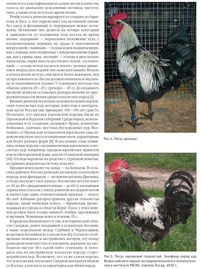 Юрловская голосистая порода кур: описание и фото, особенности содержания и ухода