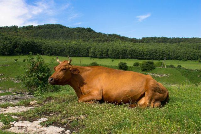 Эндометрит у коров: виды и симптомы, схема лечения и профилактика