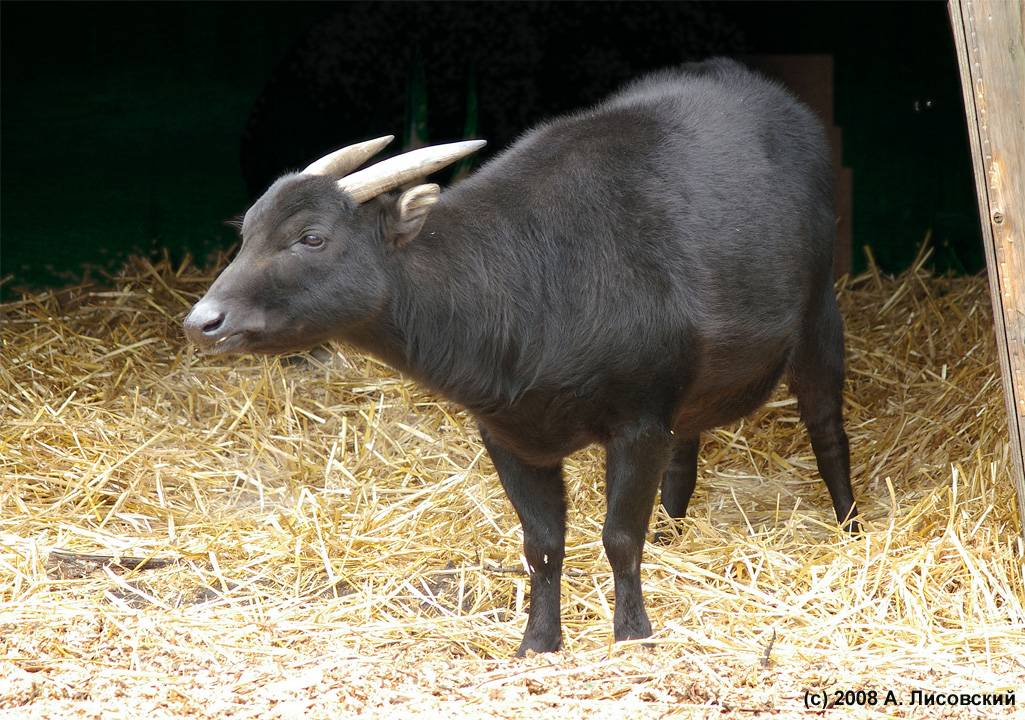 Карликовые буйволы азии и африки | топ сад