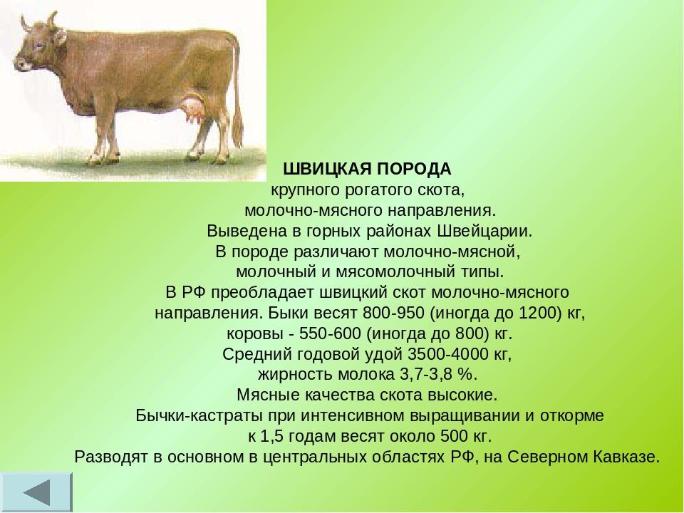 Швицкая порода коров: описание экстерьера, содержание и уход