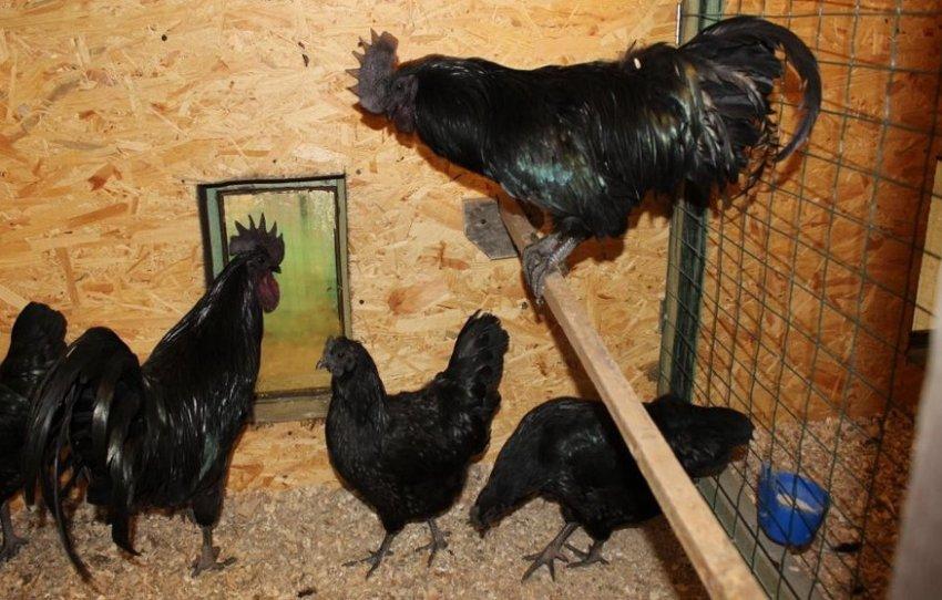 Ухейилюй порода кур: описание, особенности разведения, содержание