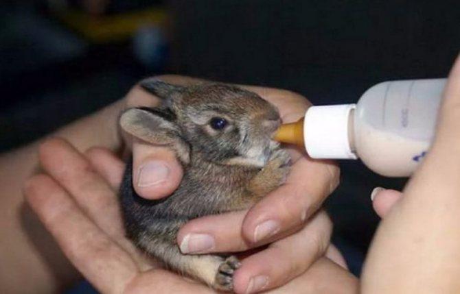 Как выкормить крольчат без крольчихи: искусственное кормление