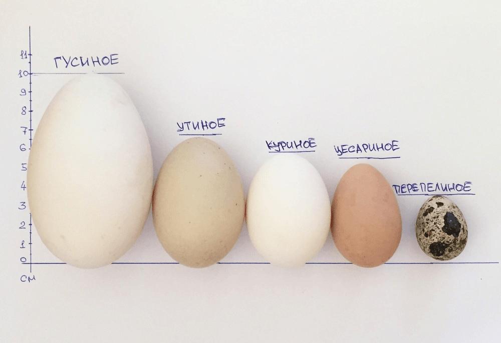 От чего зависит цвет яйца у курицы, синяя или цветная скорлупа