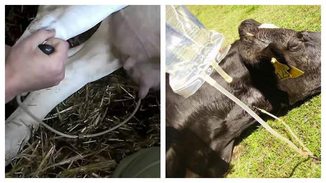 Послеродовой парез у коров – причины, симптомы, лечение и профилактика.