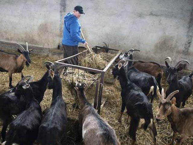 Разведение и содержание коз в домашних условиях для начинающих