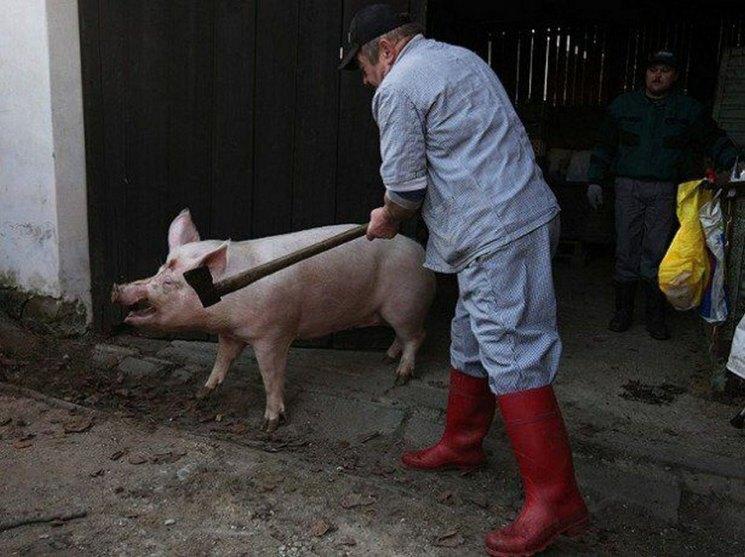 Забой свиней: подробная пошаговая инструкция