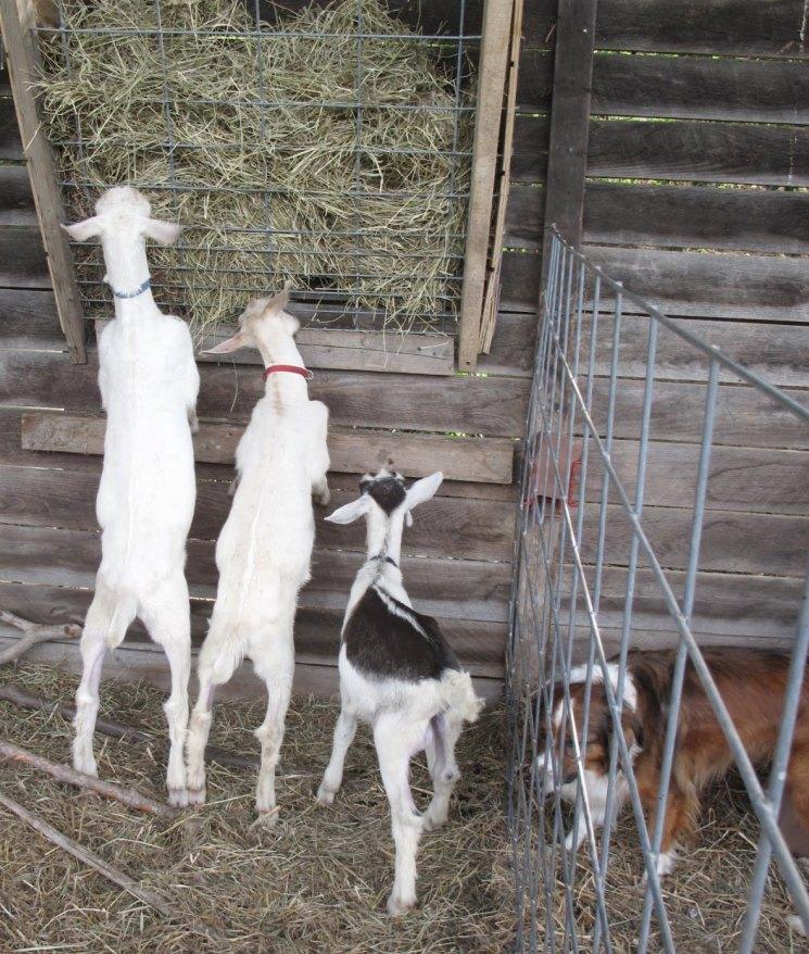 Разведение коз | основы домашнего фермерского хозяйства и правила разведения в промышленных масштабах