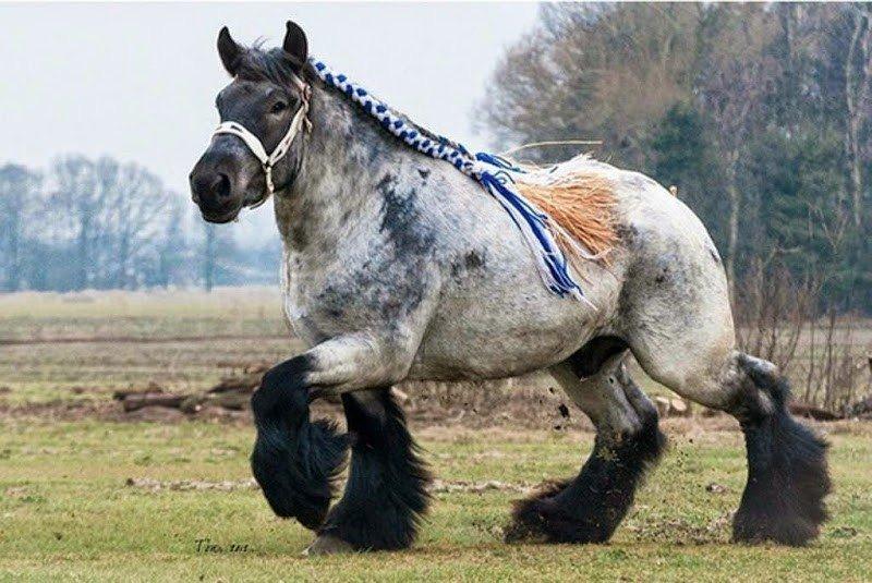 Описание породы русский тяжеловоз и содержание лошадей