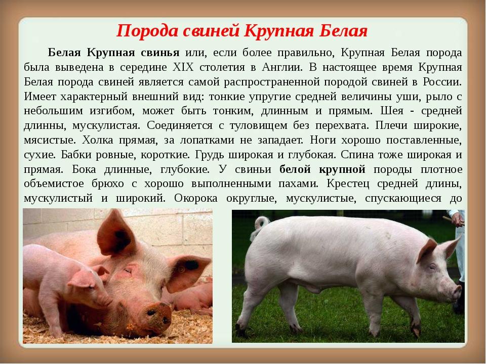 Порода свиней дюрок: характеристика и отзывы