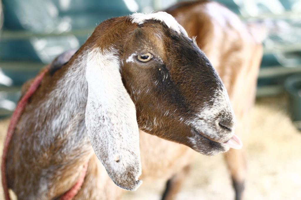 Нубийская коза: описание породы и производительности