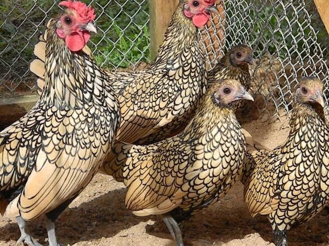 Сколько лет может жить курица - несушка в домашних условиях