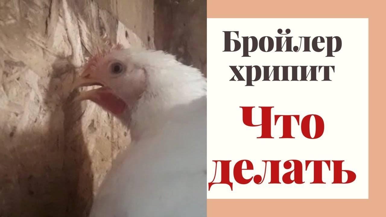 Опасное заболевание кур — хрипы: причины и методы лечения