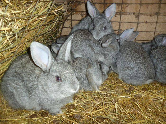Кролик белый паннон: описание породы, продуктивность и уход