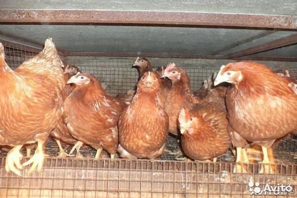 Яйценоская порода кур: какие самые лучшие или неприхотливые породы несушек с крупным яйцом для домашнего разведения и отзывы об этом