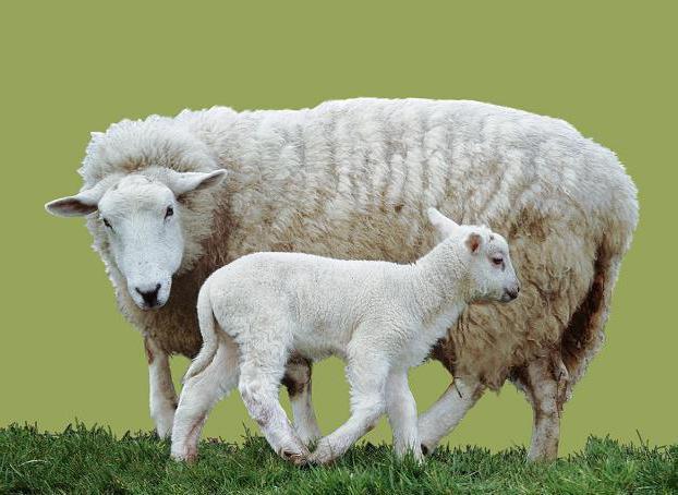 Баран и овца: в чем разница, как выглядят