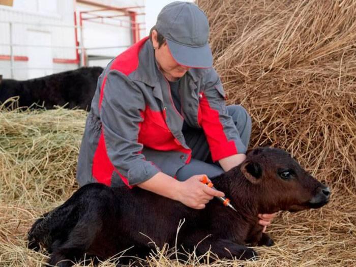 Чем лечить теленка, если он кашляет и тяжело дышит?