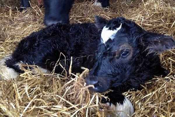 Жвачка у коровы и ее прекращение