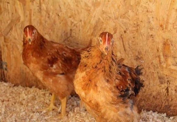 Фокси чик: описание породы кур, особенности содержания